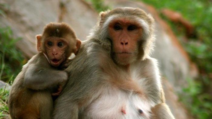नागा लड़के ने की बंदरों से चालाकी, हुअा यह अंजाम