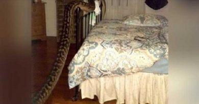 देखिये क्या हुआ जब ऑस्ट्रेलियाई महिला के बेडरूम में घुस आया 16 फुट लंबा अजगर...?
