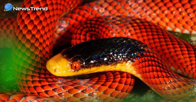 beutiful red snake