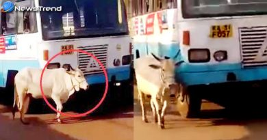 cow stops a bus