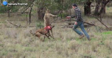 kangaroo and dog fights