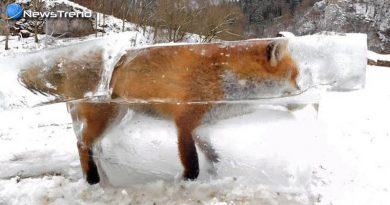 fox blocked in ice