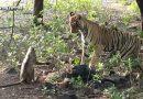 चालाक बंदर ने जिस तरह से एक बाघ को छकाया है, उसे देखकर आप लोट-पोट हो जाएंगे… देखें वीडियो