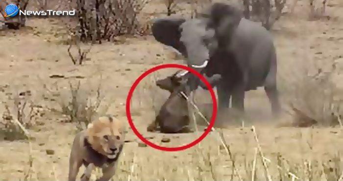 Photo of आखिर किस तरह से इस हाथी ने शेर से बचाई इस भैंसे की जान… देखें वीडियो!