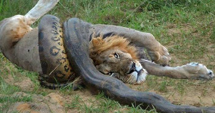 कैसे इस एनाकोंडा ने बनाया एक जंगली जानवर को अपना शिकार... देखें वीडियो!