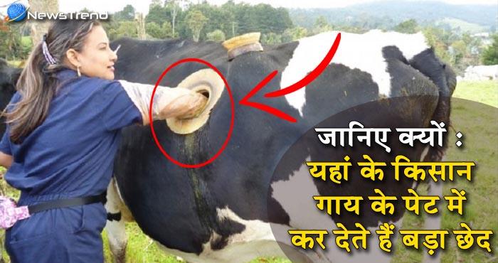 वीडियो : आखिर क्यों यहां के किसान गाय के पेट में कर रहे हैं बड़ा छेद?