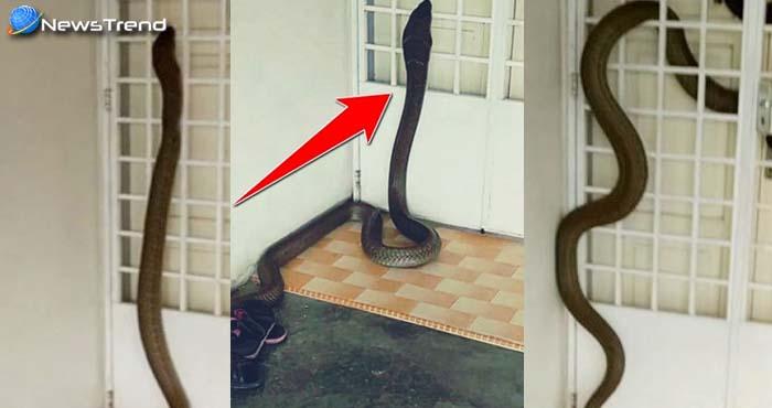 डरावना : घर में घुसा विशाल किंग कोबरा, वीडियो देखकर उड़ जाएगी रातों की नींद