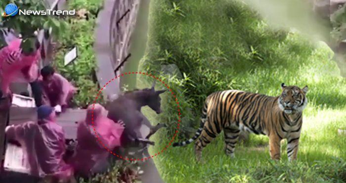 चीन में लोगों ने दिखाई क्रूरता, जिन्दा गधे को फेंक दिया भूखे बाघों के सामने... वीडियो वायरल!
