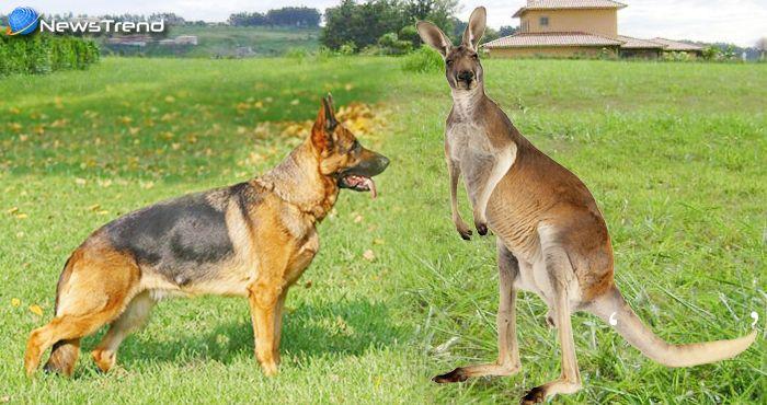 नहीं देखा होगा कुत्ते और कंगारू की इतनी जबरदस्त लड़ाई, वीडियो हो रहा वायरल!