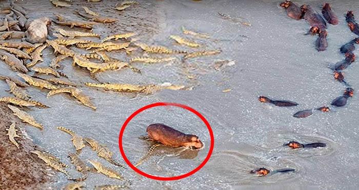 जानें क्या हुआ जब हिप्पो के एक झुण्ड पर मगरमच्छों ने किया हमला… देखें वीडियो!