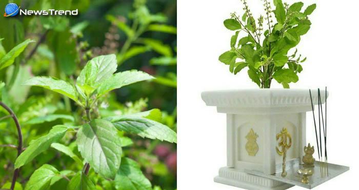 घर के आंगन में लगा तुलसी का पौधा दिलाएंगा आप को सभी परेशानियों से छुटकारा, जानिये कैसे !
