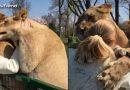 महिला और शेरों का हुआ 7 साल बाद अनोखा मिलन, देखकर हुई पूरी दुनिया हैरान.... देखें वीडियो