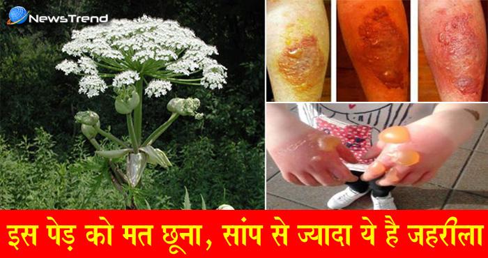 सायनाइड से भी ज्यादा जहरीला है यह पौधा, केवल छुनें से हो जाती है यह हालत