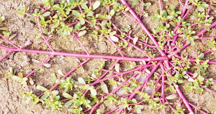 बगीचे में उग आए ये पौधा तो भूलकर भी ना उखाड़े इसे