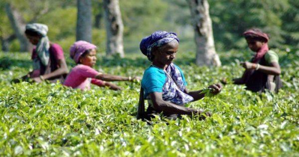 उत्तराखंड के लोग तरस रहे थे 181 साल से अपने ही चाय का स्वाद चखने के लिए, अब ले सकेंगे मजा