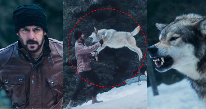 खूंखार भेड़ियों से लड़ते दिखे 'टाइगर' सलमान, वीडियो देखकर खड़े हो जाएंगे रोंगटे – देखिए