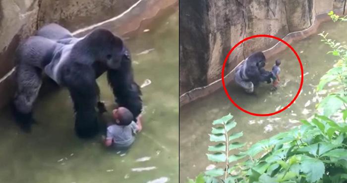 गोरिल्ला बाड़े में गिर गया 4 साल का बच्चा, फिर गोरिल्ला ने जो किया देखकर कलेजा दहल जायेगा – वीडियो