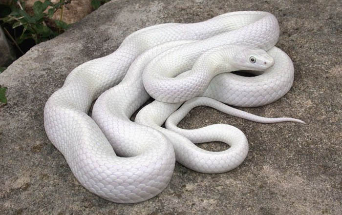 Pantherophis obsoletus also known as the western rat snake black rat snake pilot black snake or simply black snake is a nonvenomous species of Colubridae