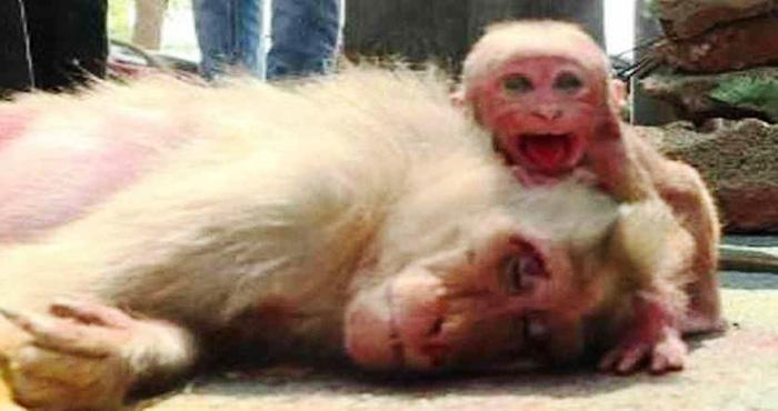 माँ की लाश के पास घंटो रोता रहा ये बंदर, जब नहीं उठी माँ तो बन्दर का हाल देख सब की आँखें हुई नम