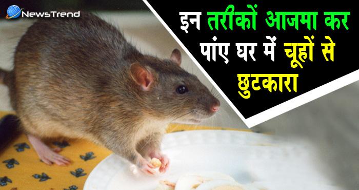 चूहों से हैं परेशान तो अपनाएं ये कारगर उपाय, हमेशा के लिए मिल जाएगा छुटकारा