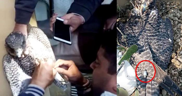 Photo of पाकिस्तान करवा रहा पक्षियों से जासूसी, बॉर्डर से पकड़े गए बाज का हुआ ऑपरेशन तो निकली ये चीज