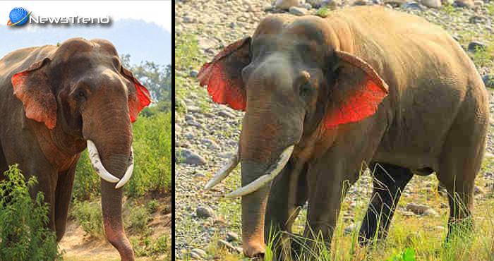 आपने हाथी तो बहुत देखा होगा लेकिन क्या कभी देखा है इस तरह का दुर्लभ हाथी,देखकर हो जायेंगे हैरान