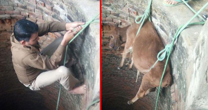 यूपी पुलिस का साहसिक कारनामा, कॉन्स्टेबल ने गहरे कुएँ में उतरकर रातभर तड़पते रहे गाय के बछड़े की बचाई जान