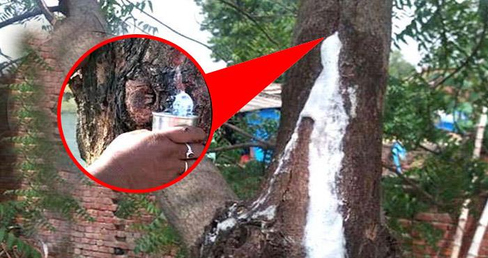 इस अद्भुत पेड़ से निकल रहा है एक अजीब तरह का सफ़ेद तरल पदार्थ, लोग मानते हैं इसे चमत्कार