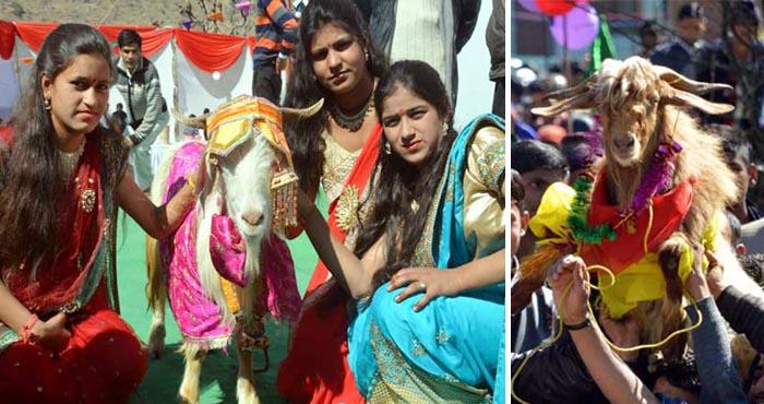 Photo of बकरी स्वयंबरः दिलवाले बकरियां कैसे ले जाएं..! जब अनोखी शादी में सरकार ने डाली अड़चन