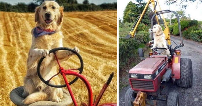 जानें दुनिया के सबसे अद्भुत और समझदार कुत्ते के बारे में, जो चलाता है ट्रैक्टर