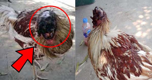 गर्दन कटने के बाद भी हफ्ते भर से जिंदा है ये मुर्गा, कहलाया 'ट्रू वॉर्यिर'