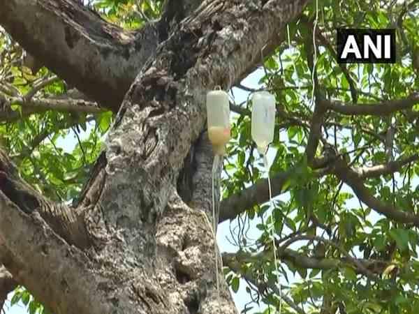 700 साल पुराने इस पेड़ का किया जा रहा है इंसानों की तरह इलाज, डॉक्टरों ने लगायी ग्लूकोज़ की बॉटल