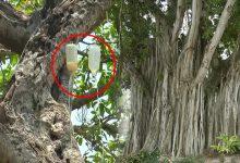 700 साल पुराने इस पेड़ का किया जा रहा है इंसानों की तरह इलाज, डॉक्टरों ने लगायी है ग्लूकोज़ की बॉटल
