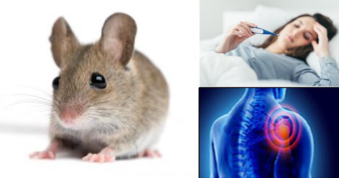 चूहे से फैलती है यह ख़तरनाक और जानलेवा बीमारी, ऐसे करें इसकी पहचान और बचाव