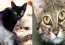 बिल्लियां देती हैं शुभ-अशुभ घटनाओं का संकेत, इनको पहचान कर रहना होगा सावधान