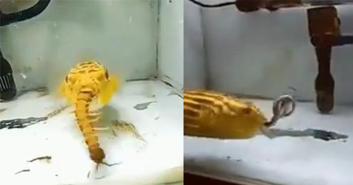 छोटी सी मछली है इतनी ख़तरनाक कि ज़हरीले जीवों को भी बना लेती है अपना निवाला, वीडियो देखकर...