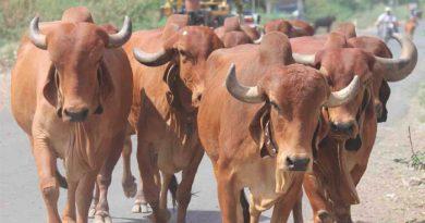गीर गाय की कीमत