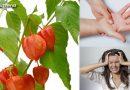 अश्वगंधा के फायदे एवं सेवन विधि | जानिये क्या है अश्वगंधा, पतंजलि अश्वगंधा कैप्सूल के फायदे