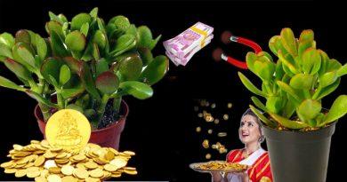 चुंबक की तरह पैसों को खींचता है यह पौधा, घर में लगाएंगे तो हो जाएंगे मालामाल