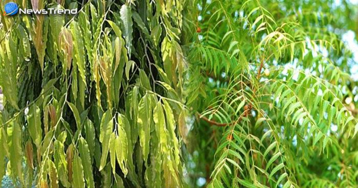 अर्जुन के पेड़ की छाल के फायदे
