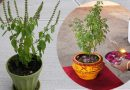 अगर आपके घर में भी है तुलसी का पौधा तो जानिए तुलसी पूजा का सही नियम
