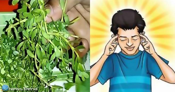 ब्राह्मी का पौधा दिमागी शक्ति के लिए है वरदान, जानिए क्या है इसकी पहचान