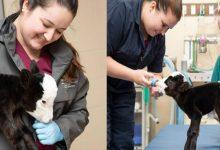 बिल्ली जैसी दिखती है ये दुनिया की सबसे छोटी गाय, इसकी क्यूटनेस सोशल मीडिया पर हुई वायरल