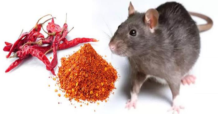 घर में चूहों ने कर रखा है परेशान, तो करें यह छोटा सा काम, कुछ ही मिनटों में मिलेगा छुटकारा