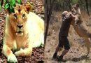 शेर पर भारी पड़ा इंसान, बिना हत्यार के शेर को ही मार डाला, जानिए कैसे