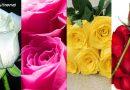 Rose Day: फूलों से जूड़ी हैं रिश्ते की डोर, जानें किस रंग के गुलाब का क्या होता है मतलब
