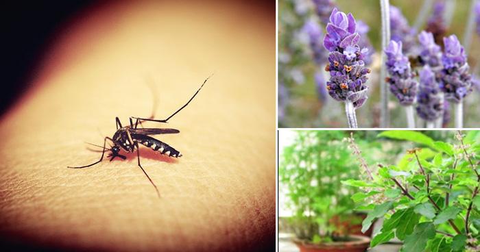 Photo of मच्छरों के आतंक से पाना है छुटकारा तो घर में बालकनी में लगा दें ये  5 पौधे