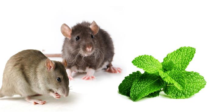 इस घरेलू उपाय से दोबारा नहीं आएंगे चूहे, देखते ही घर से भाग खड़े होंगे