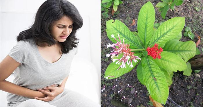 पेट के रोगों को मिनटों में दूर करे 'सर्पगंधा' का पौधा, जानें इस पौधे से जुड़े फायदे