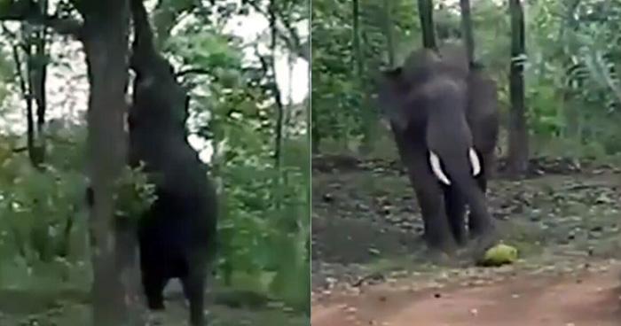 हाथी गॉट टेलेंट: बंदर की तरह पेड़ पर चढ़ने लगा हाथी, Video में देखे फिर क्या हुआ